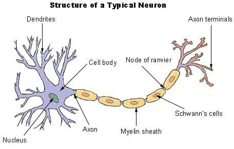 how to make a nerve cell project